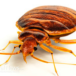 Bed-Bug-Close-Up-Insect