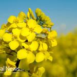 Canola-Plant-Flowers