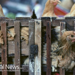 Chickens-Coupe-Farm