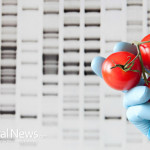 GMO-Tomatoes-Science-Gloves-Study