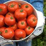 Garden-Fresh-Tomatoes
