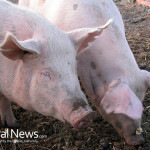Genetically-Modified-Pigs