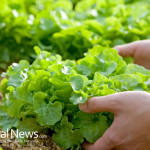 Harvesting-Greens-Vegetable-Veggies-Picking-Growing-Garden