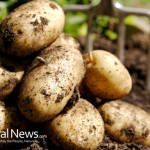 Potatoes-Soil