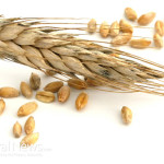 Wheat-Grain-Isolated