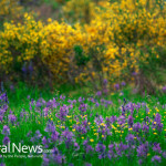 Yellow-Purple-Wildflowers