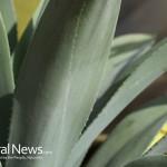 Aloe-Vera-Leaves-Plant