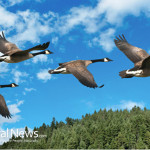 Birds-Flying-Lake-River-Nature-Geese-Ducks