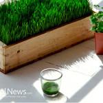 Wheatgrass-Parsley