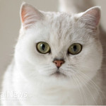 White-Cat-Kitten-Pet-Furry