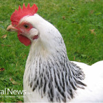 White-Chicken-Grass-Farm-Free-Range