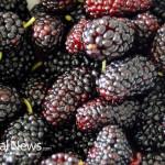 Mulberries-Berries-Fruit